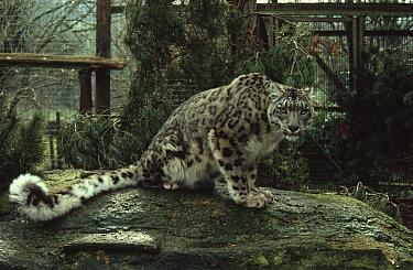 Snow leopard in zoo (Panthera uncia) captive, UK  -  Colin Seddon/ npl
