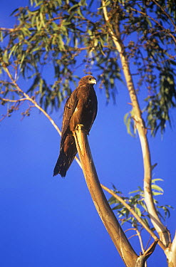 Black kite (Milvus migrans) perched, Gondar, Ethiopia  -  David Pike/ npl