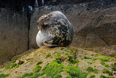 Grey seal (Halichoerus grypus) lying on a rock at low water, Wales, UK  -  Graham Eaton/ npl