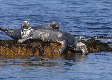 Grey Seals (Halichoerus grypus) on haulout, Cardigan Bay, Wales, UK, 2007  -  Graham Eaton/ npl