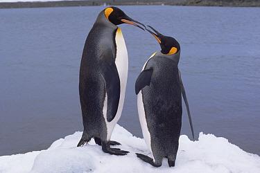 Two king penguins face to face (Aptenodytes patagoni) South Georgia, Antarctica  -  Lynn M. Stone/ npl