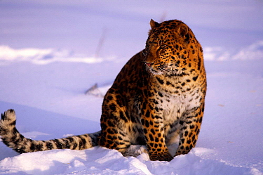 Amur leopard in snow (Panthera pardus orientalis) captive  -  Lynn M. Stone/ npl