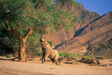 African elephant (Loxodonta africana) feeding on Ana tree, Kaokaland, Namibia, Southern Africa  -  Pat De La Harpe/ npl