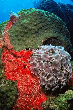 Social feather duster worms (Bispira brunnea) and red encrusting sponge (Monanchora barbadensis) St Vincent, Caribbean  -  Doug Perrine/ npl