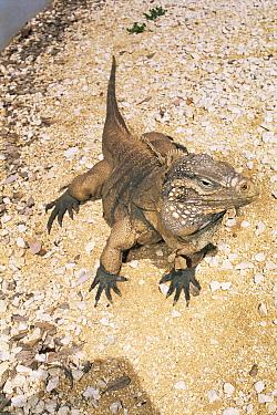 Little cayman gray rock iguana (Cyclura nubila caymanensis) captive, critically endangered  -  Doug Perrine/ npl
