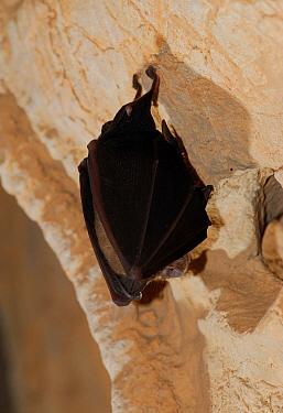 Horseshoe bat (Rhinolophus ferrumequinum) hanging, Donini cave, Sardinia, Italy  -  Fabio Liverani/ npl