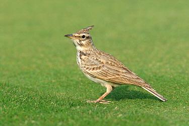 Crested lark (Galerida cristata), Abu Dhabi, United Arab Emirates  -  Hanne & Jens Eriksen/ npl