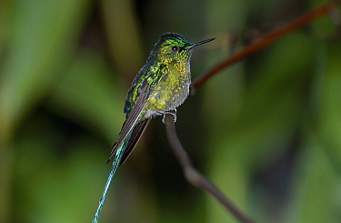 Long tailed sylph male (Aglaiocercus kingi) San Isidro Galapagos  -  Mike Read/ npl
