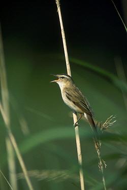 Sedge warbler singing (Acrocephalus schoenobaenus) France  -  Mike Read/ npl
