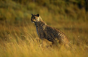 Leopard (Panthera pardus) 'Half Tail' on location for Big Cat Diary, Masai Mara NR, Kenya  -  Keith Scholey/ npl