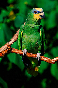 Orange winged Amazon parrot  -  Lynn M. Stone/ npl