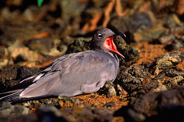 Dusky gull (Larus fuliginosus) calling, Tower (Genovesa) Is, Galapagos Islands, Ecuador Book page 79  -  Pete Oxford/ npl