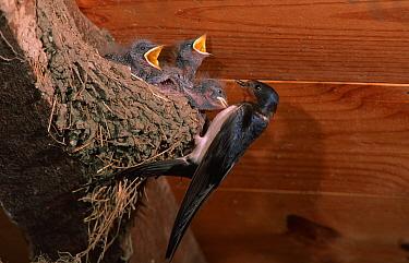 Barn swallow at nest with chicks begging (Hirundo rustica) Spain  -  Jose Luis Gomez De Francisco/ np