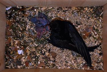 Common swift adult feeding week-old chicks in nestbox, Sweden 9 July  -  Bengt Lundberg/ npl