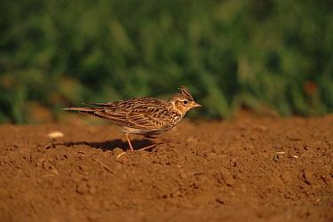 Skylark (Alauda arvensis) on ground Germany, Europe  -  Dietmar Nill/ npl