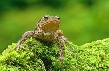 Common toad (Bufo bufo) on mossy stump, Aberfoyle, Stirlingshire, Scotland, UK, captive  -  Niall Benvie/ npl