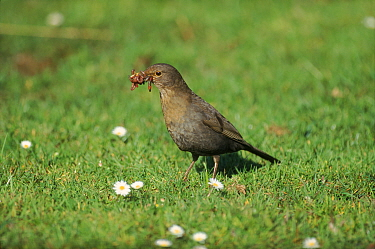 Female Blackbird (Turdus merula) with worms for nestlings UK  -  Steve Knell/ npl
