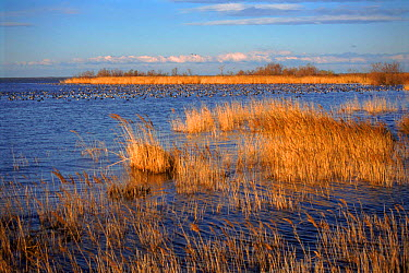 Flock of ducks on the marshes, Camargue, France  -  Jean E. Roche/ npl