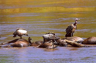 Ruppells griffon vultures (Gyps rueppellii) on drowned Wildebeest Masai Mara Kenya  -  Carine Schrurs/ npl