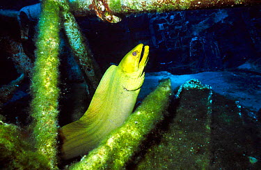 Green moray eel (Gymnothorax funebris) on ship wreck Cayman brac BWI Caribbean russian  -  Carine Schrurs/ npl