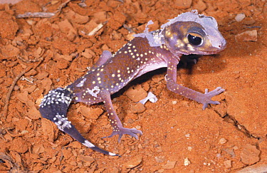 Thick-tailed gecko (Underwoodisaurus milii) juvenile moulting, NSW, Australia  -  Robert Valentic/ npl