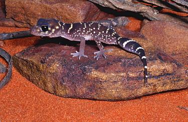 Thick-tailed gecko (Underwoodisaurus milii) juvenile, Victoria, Australia  -  Robert Valentic/ npl
