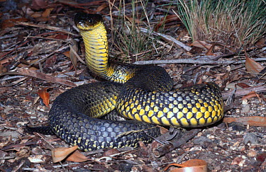 Western tiger snake, male in strike pose (Notechis scutatus occidentalis) Western Australia  -  Robert Valentic/ npl