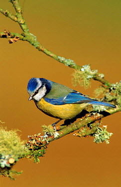 Blue tit perched, England  -  William Osborn/ npl