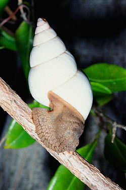 Florida tree snail (Liguus fasciatus) Key Largo, Florida, USA, North America  -  Barry Mansell/ npl