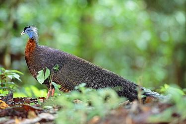 Argus pheasant male at 'dancing ground' (Argusianus argus) Danum valley, Sabah, Borneo  -  Nick Garbutt/ npl