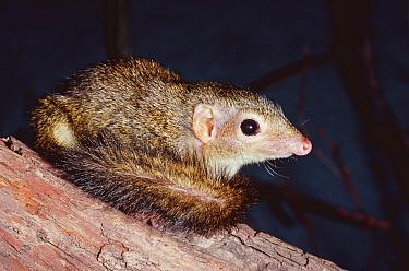 Pygmy tree shrew (Tupaia minor) captive, from Asia  -  Rod Williams/ npl