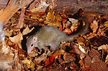 Belanger's tree shrew (Tupaia belangeri) captive  -  Rod Williams/ npl