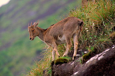 Nilgiri tahr juvenile, Eravikulum NP, South India  -  Lockwood & Dattatri/ npl