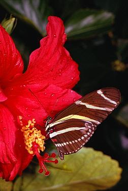 Zebra butterfly on Hibiscus flower (Heliconius charitonius)  -  Lynn M. Stone/ npl