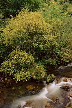 White willow tree growing beside stream, Muniellos Reserve, Asturias, Spain Autumn  -  Jose B. Ruiz/ npl