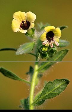 Henbane (Hyoscyamus niger) Spain  -  Jose B. Ruiz/ npl