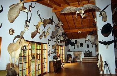 Trophy room, Klipspringer lodge, Nelspruit, South Africa  -  William Osborn/ npl