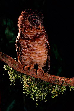 African (Woodford's) wood owl (Strix woodfordii) Zaire Epulu Ituri Rainforest Reserve  -  Jabruson/ npl