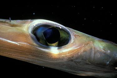 Cornetfish, close-up of eye (Fistularia commersonii) Red Sea  -  Jeff Rotman/ npl