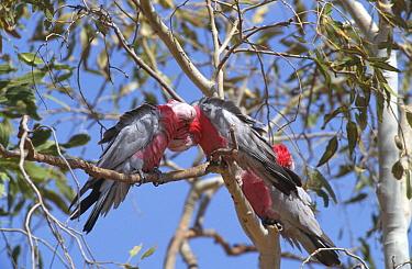 Galah cockatoos allopreening (Eolophus roseicapilla) West Queensland, Australia  -  William Osborn/ npl