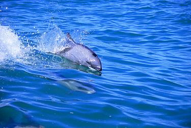 Heaviside's dolphin surfing (Cephalorhynchus heavisidii) Lamberts bay, South Africa  -  Tom Walmsley/ npl