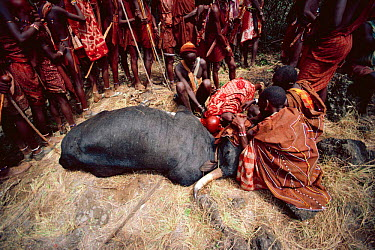 Maasai traditional E-unoto ceremony, Kedong Valley, Rift valley, Kenya Ritual slaughter of ox 1985  -  Jabruson/ npl