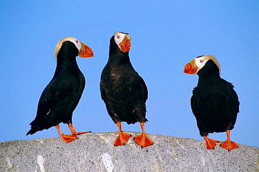 Tufted puffin pair (left) interrupted by individual (rt) {Lunda cirrhata} East Russia  -  Ben Osborne/ npl