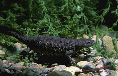 Sharp ribbed salamander (Pleurodeles waltl) Spain  -  Jose B. Ruiz/ npl