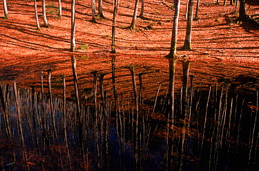 Young European beech trees reflected in water (Fagus sylvatica) Vosges, France  -  Jean E. Roche/ npl