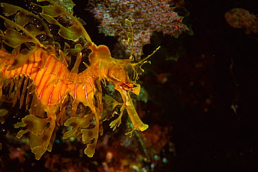 Leafy seadragon (Phycodurus eques), South Australia  -  Brent Hedges/ npl