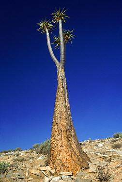 Aloe (Aloe pillansii) tree in desert, Richtersveld, South Africa  -  Neil Nightingale/ npl