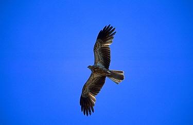 Whistling kite, hawk flying (Heliastur sphenurus) Kakuda NP Australia  -  Hanne & Jens Eriksen/ npl