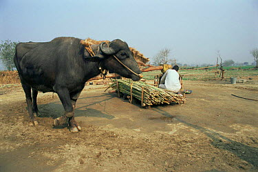 Domestic Water buffalo working to run mill which processes raw sugar cane, traditional farming method, Delhi, India  -  David Tipling/ npl