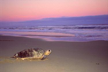 Loggerhead turtle on beach (Caretta caretta) returning to sea after egg laying  -  Pat De La Harpe/ npl